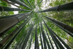 Bamboo green in the forest. Green bamboo in a beautiful forest royalty free stock photos