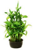 Green bamboo in the black pot Stock Images