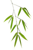 Green bamboo branch isolated on white stock image