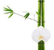 Green bamboo branches and white orchid flower Stock Photography