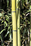 Green Bamboo canes Stock Image