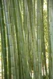 Green bamboo canes Stock Photo