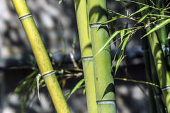 Green bamboo canes group Royalty Free Stock Photo