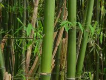 Green bamboo details royalty free stock image