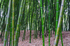 Green bamboo filed in a forest Stock Photos