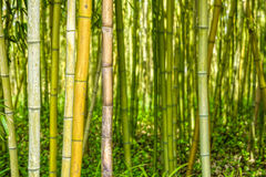 Green bamboo filed in the forest Royalty Free Stock Photography