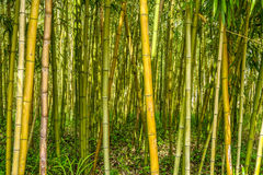 Green bamboo filed in the forest Royalty Free Stock Images