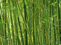 Green Bamboo Forest. Horizontal composition Stock Images