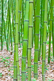 Green bamboo forest. And leaves fell on the ground Stock Photos