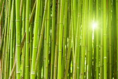 Green bamboo forest. With bright morning sunlight Royalty Free Stock Photo