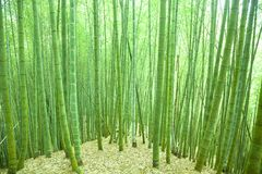 Green bamboo forest. In asia Royalty Free Stock Images