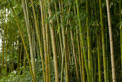 Green bamboo forest. In Thailand Royalty Free Stock Image