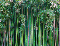 Green bamboo forest. Natural background Stock Photos
