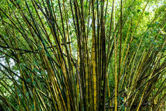 Green bamboo in the forest Stock Images
