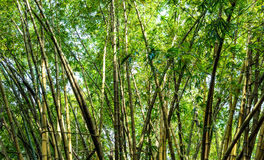 Green bamboo in the forest Royalty Free Stock Photo