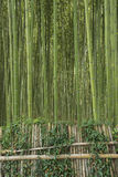 Green bamboo forest Royalty Free Stock Images