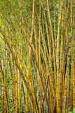 Green bamboo forest in Bali Royalty Free Stock Images