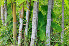 Green bamboo forest Royalty Free Stock Image