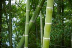 Green Bamboo Forest In China Royalty Free Stock Photography