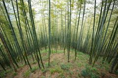 Green Bamboo Forest In China Royalty Free Stock Photo