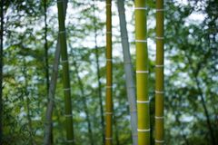 Green Bamboo Forest In China Stock Photo