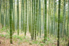 Green Bamboo Forest In China Stock Image