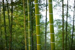 Green Bamboo Forest In China Stock Images