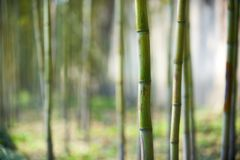 Green bamboo forest in China Stock Photography