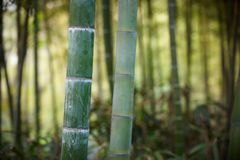 Green bamboo forest in China Royalty Free Stock Image