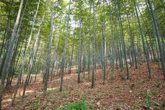 Green Bamboo Forest In China Royalty Free Stock Images
