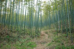 Green Bamboo Forest In China Stock Photos