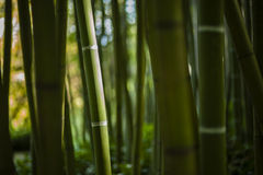 Green Bamboo forest Royalty Free Stock Photography