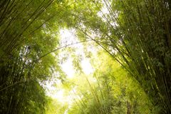 Green bamboo forest. Green bamboo forest nature background Royalty Free Stock Photo