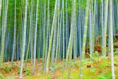 Green bamboo forest. In Japan - Arashiyama near Kyoto stock image