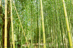 Green of bamboo forest Royalty Free Stock Image