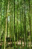 Green of bamboo forest Stock Images