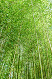 Green of bamboo forest Royalty Free Stock Photos