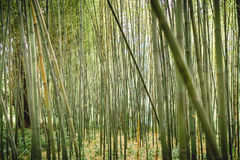 Green bamboo forest in Maui, Hawaii stock images