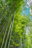 Green bamboo forest. With morning sunlight Stock Image