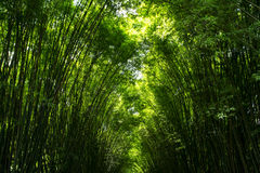 Green bamboo forest. Nbeautiful background Stock Image