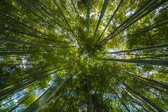 Green Bamboo forest Stock Images