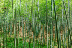 Green bamboo forest Stock Photography