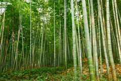 Green bamboo forest Royalty Free Stock Photo