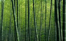 Green bamboo forest textured wallpaper Royalty Free Stock Photo
