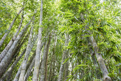 Green bamboo forest in Thailand Royalty Free Stock Photos