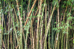 Green Bamboo Forest. Green, thick, bamboo forest in the Valley of Temples, Kaneohe, Oahu, Hawaii Royalty Free Stock Images