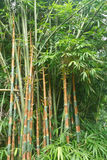 Green Bamboo. Bamboo forest in the tropics Royalty Free Stock Photos