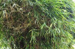 Green asian bamboo Stock Image