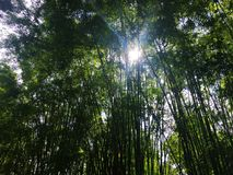 In the green bamboo garden. Royalty Free Stock Photo