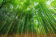 Green bamboo garden row in Arashiyama tradition sightseeing in K. Yoto, Japan Stock Images